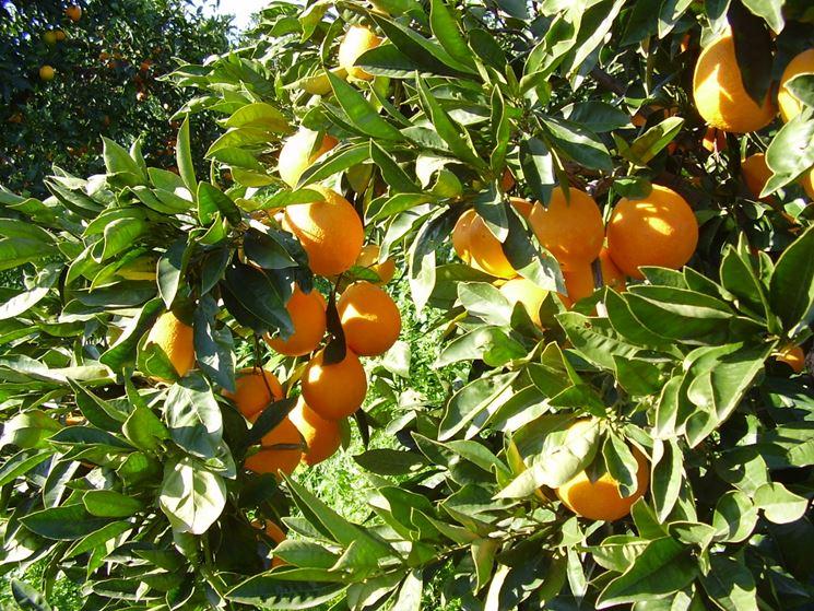 Scorcio di un aranceto siciliano