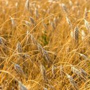 Spighe di grano khorasan