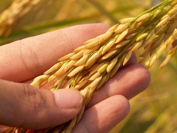 Il riso è un cereale consentito