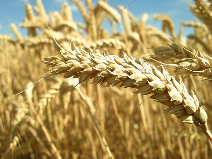 Il grano contiene glutine