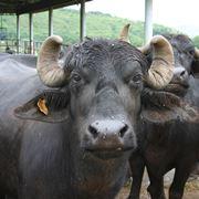 Bufalo da allevamento